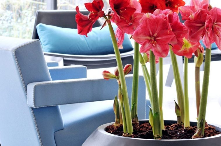 Blow your own Trumpet with Amaryllis