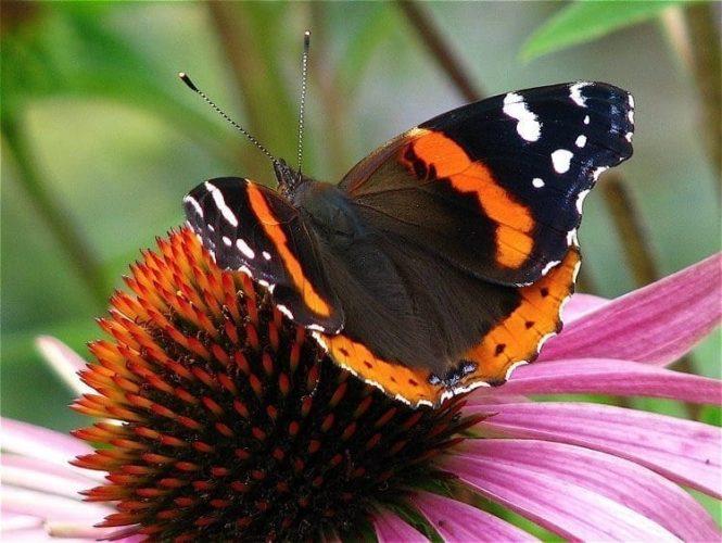 Bring Butterflies into your Garden