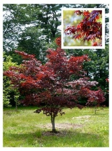 Five great Japanese Maples for small gardens