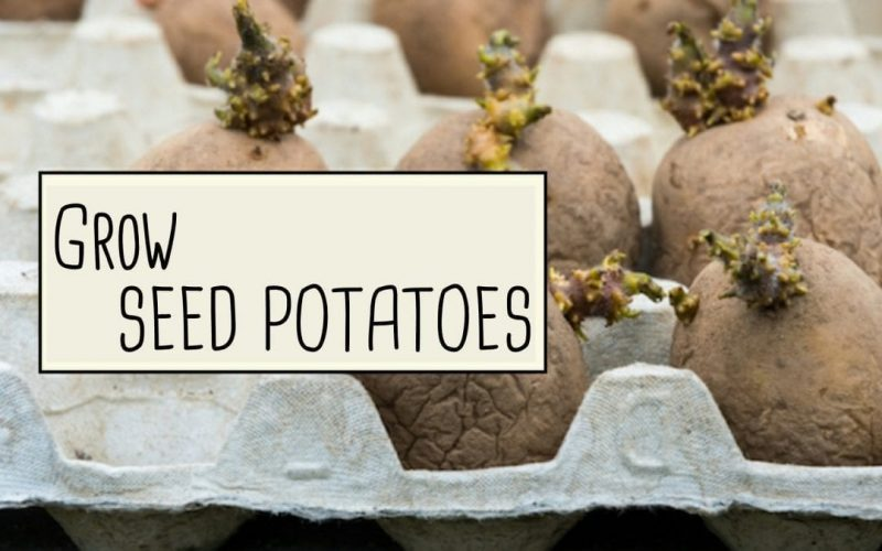 Growing Potatoes from Seed Potatoes