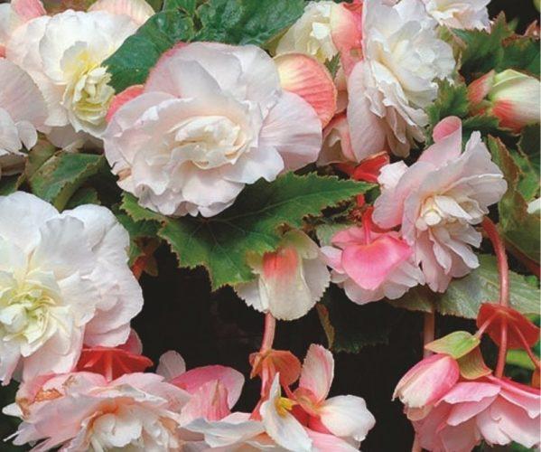 Growing Tuberous Begonias