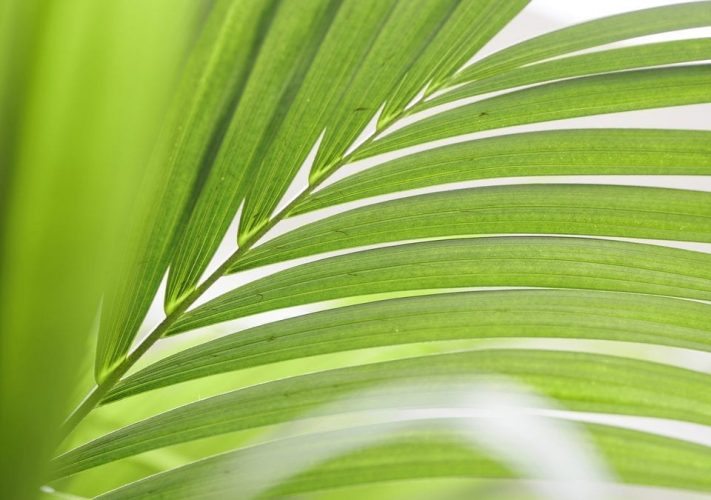 January 2019- Kentia Palm Houseplant of the Month