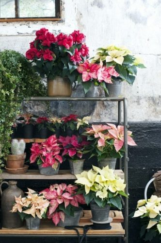 Poinsettia is the Houseplant of the moment