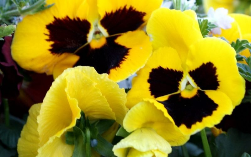 Winter Pansies – Early planting means more flowers