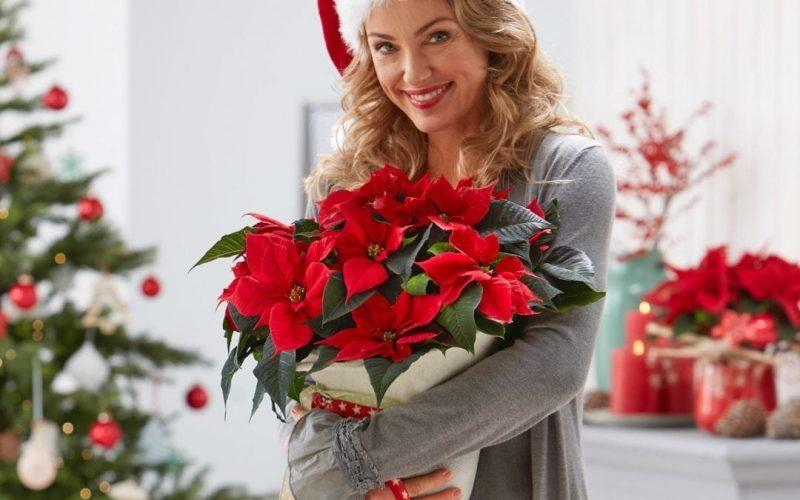 christmas-star-poinsettia