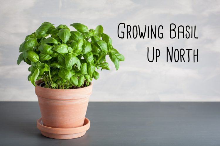 How to Grow Basil up North